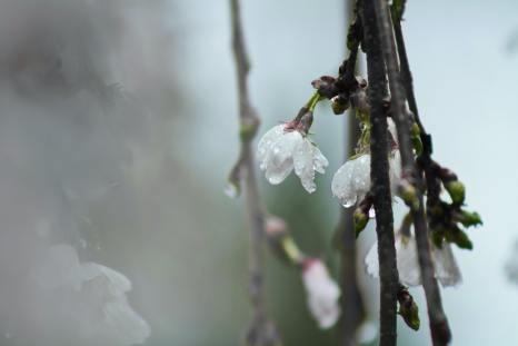 white-tree-blossoms-with-dew-in-closeup-photo-1011788